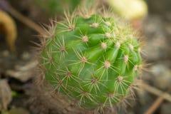 Grön kaktus arkivbild