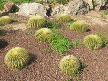 Grön kaktus Arkivfoton