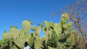 Grön kaktus för taggigt päron med frukter i afrikanskt ökenslut upp, skytte för låg vinkel lager videofilmer