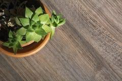 Grön kaktus i den bruna krukan Royaltyfria Foton