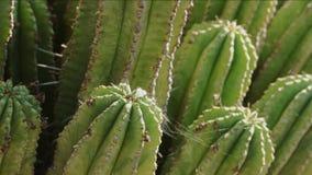 Grön kaktus i en solig dag stock video