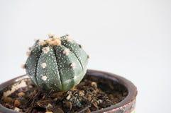 Grön kaktus i krukan Arkivfoton