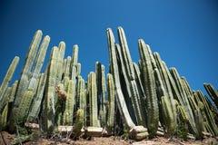Grön kaktus mot blåa himlar Arkivbild