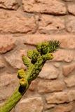 Grön kaktus mot den grova stenväggen i staden av Toconao, Atacama öken, nordliga Chile royaltyfria bilder