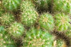 Grön kaktusbakgrund Royaltyfria Foton