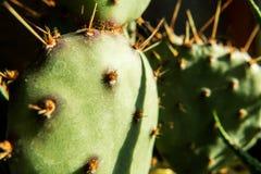 Grön kaktusmakro Royaltyfria Bilder