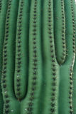 Grön kaktusmodell Royaltyfri Bild