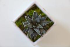 Grön kaktusväxt Royaltyfria Foton