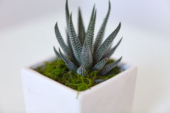Grön kaktusväxt med den fullvuxna läderremmen royaltyfria foton