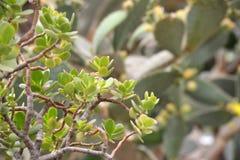 Grön kaktusväxtcloseup Arkivbild
