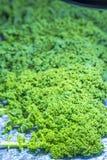 grön kale Arkivbilder