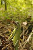 Grön kameleont, ödla saurian arkivbild