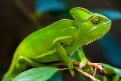 Grön kameleont Arkivfoton