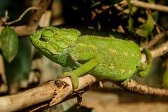 Grön kameleont Arkivbild
