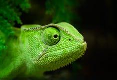 Grön kameleont Royaltyfri Fotografi