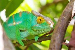 Grön kameleont Fotografering för Bildbyråer