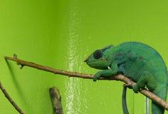 Grön kameleont Royaltyfria Foton
