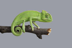 Grön kameleont Royaltyfri Bild