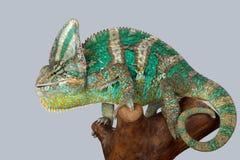 Grön kameleont Royaltyfria Bilder