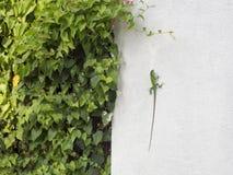 Grön kameleont på en vit vägg Arkivfoton
