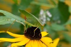 Grön Katydid gräshoppa arkivbilder