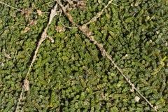 Grön kaviarhavsväxt Arkivfoto