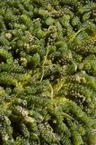 Grön kaviarhavsväxt Fotografering för Bildbyråer