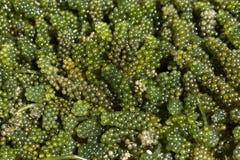 Grön kaviarhavsväxt Royaltyfri Foto