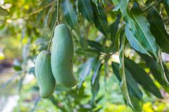 Grön Khiaosawoey mango på träd Royaltyfri Fotografi