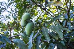 Grön Khiaosawoey mango på träd Arkivfoto