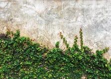 Grön klättrafikonträdväxt som kryper fikonträd- eller fikuspumilaen som växer och att täcka på cementväggen royaltyfria foton