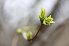 Grön knopp Royaltyfria Bilder