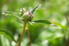 Grön knopp av en pion och en myra under en sommarsäsong Arkivbilder