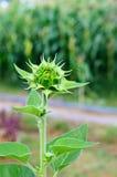 Grön knoppsolros Royaltyfria Bilder