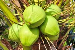 Grön kokosnöt Fotografering för Bildbyråer