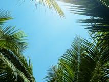 Grön kokosnötpalmblad mot blå himmel med ljus bakgrund för solljusnatur Royaltyfri Bild