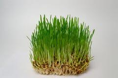 Grön kondition för vetebakterie bantar sunt bantar upp naturligt slut royaltyfri fotografi