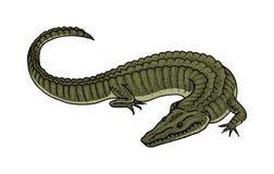 Grön krokodil, reptilamfibie för amerikansk alligator tropiskt djur den inristade handen som dras i gammal tappning, skissar royaltyfri illustrationer