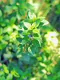 Grön kvist av den nya mintkaramellen på trädgårds- säng på solig dag Arkivbilder