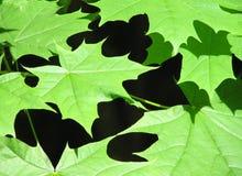 grön lönn Arkivfoton