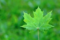 Grön lönnlöv för kanadensare Arkivfoton