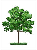 grön lönntree Royaltyfri Bild