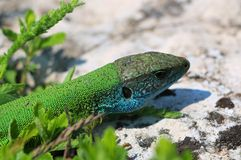 Grön lös ödla Arkivfoto