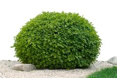 Grön lövrik buske som isoleras på vit bakgrund Royaltyfri Foto
