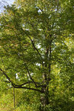 grön lövrik tree Royaltyfria Bilder