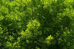 Grön lövverk Fotografering för Bildbyråer