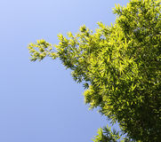 Grön lövverk för bambu på blåtten. Arkivbild