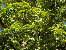 Grön lövverk för GinkgoBiloba träd i nedgången royaltyfria bilder