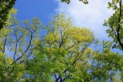 Grön lövverk på en bakgrund av blå himmel Arkivfoton