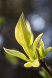 grön lanate växt Royaltyfri Fotografi